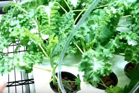 Grow tent hydroponic pods with lettuce and cucumbers growing